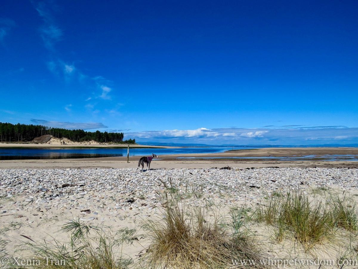 a blue and white whippet standing on the dunes at the mouth of a river