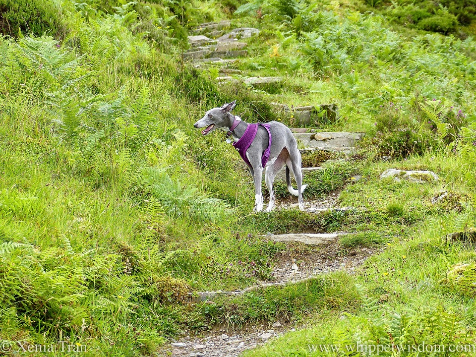 a blue and white whippet standing on a mountain trail