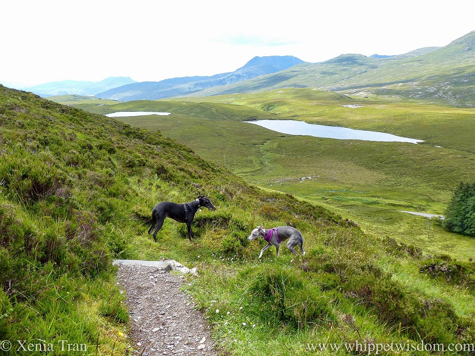two whippets on a mountain trail with lochans visible below