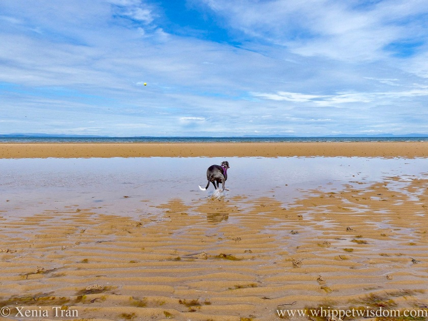 a blue and white whippet sprinting through a tidal pool