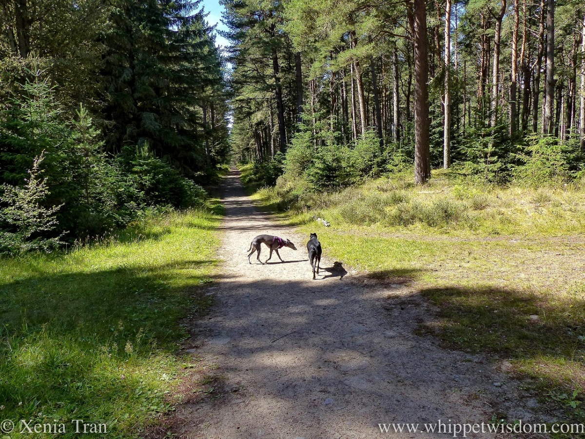 two whippets walking on a sun-lit forest trail