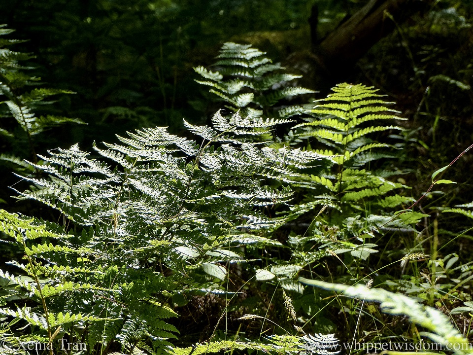 close up image of large green ferns catching the sun