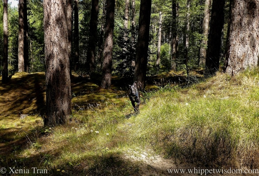 a black whippet running on a forest trail in dappled light