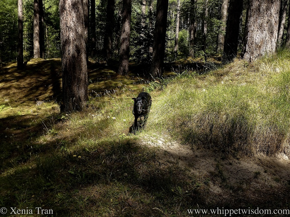 a black whippet running towards the camera on a forest trail in dappled light