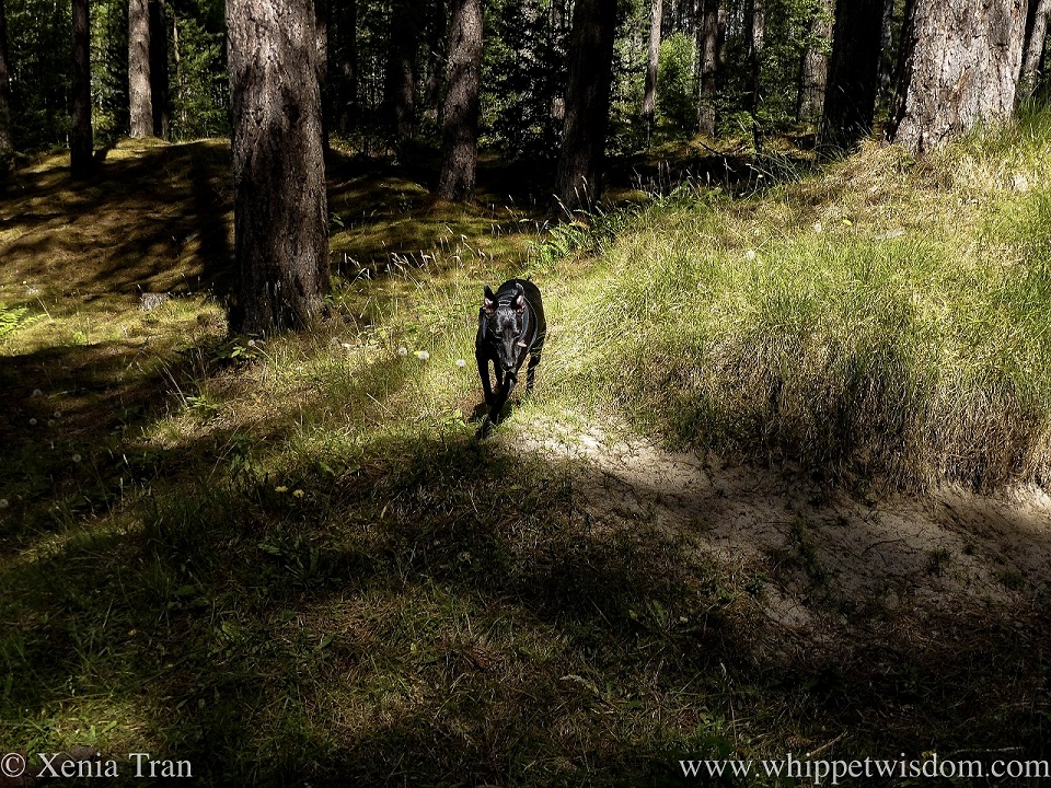 a black whippet running along a forest trail to join the main path