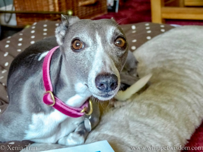 a blue and white whippet smiling at the camera