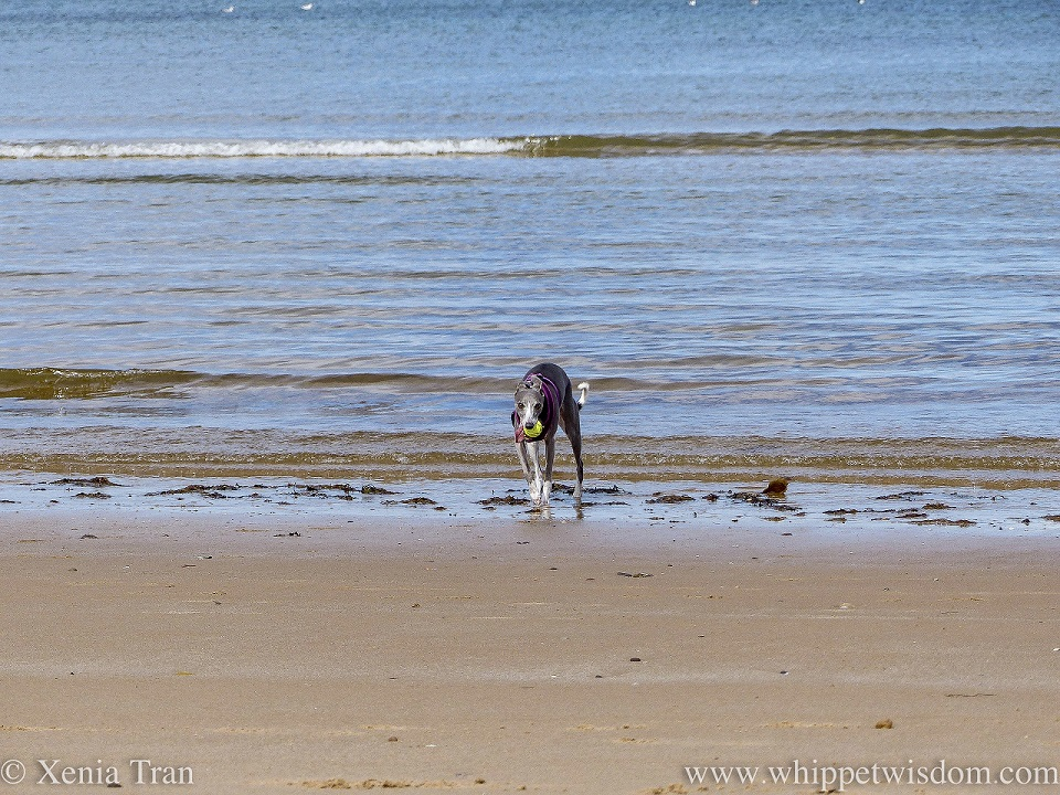 a blue and white whippet running on the shoreline with a ball