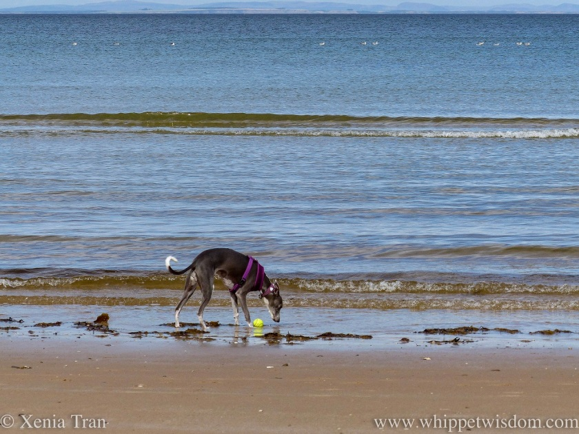 a blue and white whippet on the shoreline sniffing seaweed
