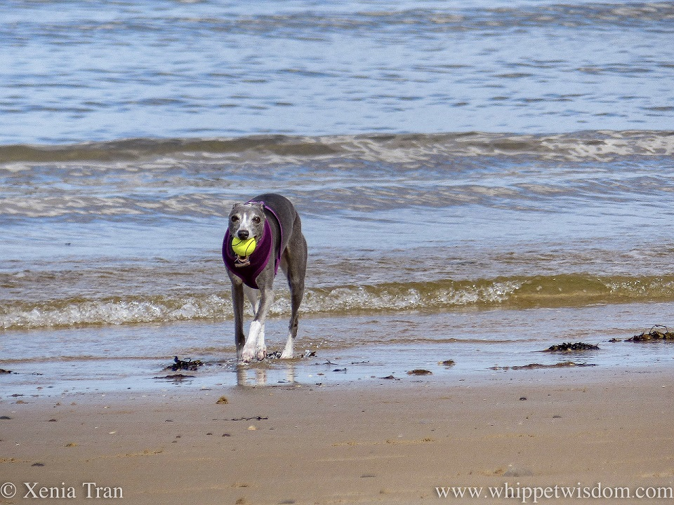 close up image of a blue and white whippet on the beach with a ball