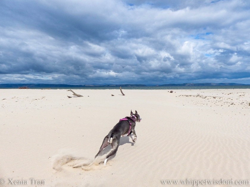 a blue and white whippet running across the beach