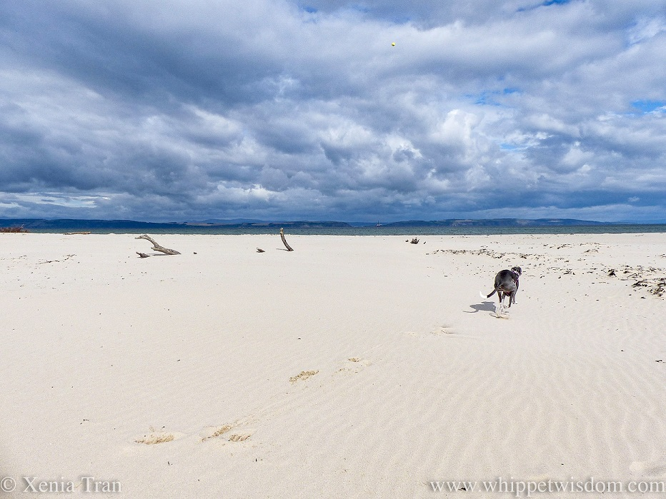 a blue and white whippet speeding past across the beach