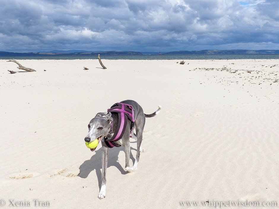 a smiling blue and white whippet with a yellow ball on the beach