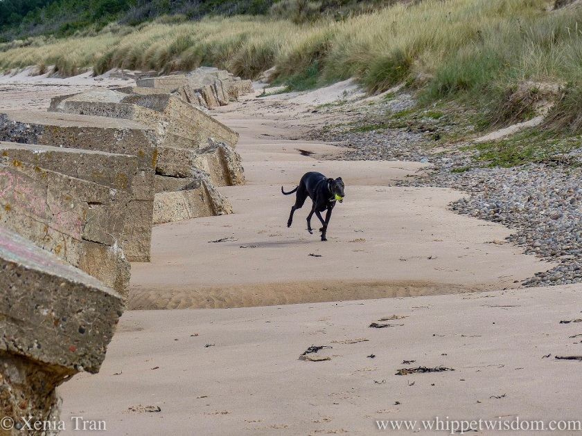 a black whippet running along the bottom of the dunes