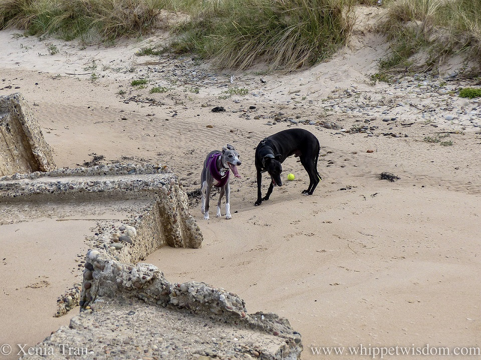 two whippets on the beach beside the dunes