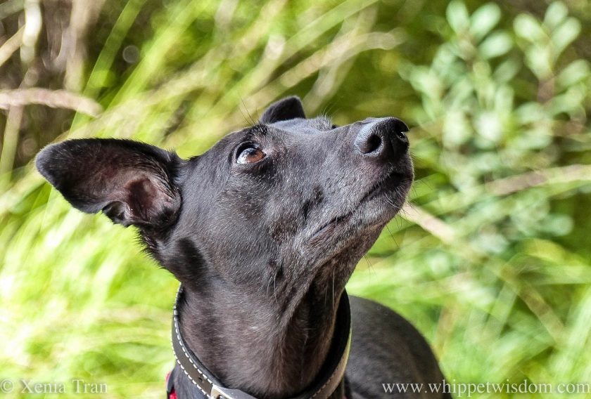 close up of a black whippet on a forest trail looking up at the sky