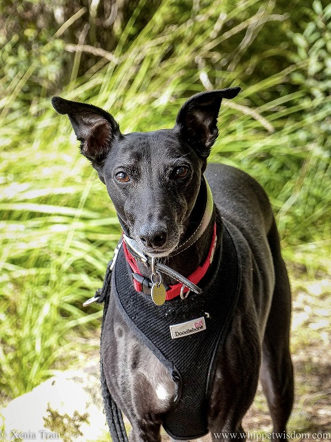 a black whippet on a forest trail looking straight at the camera
