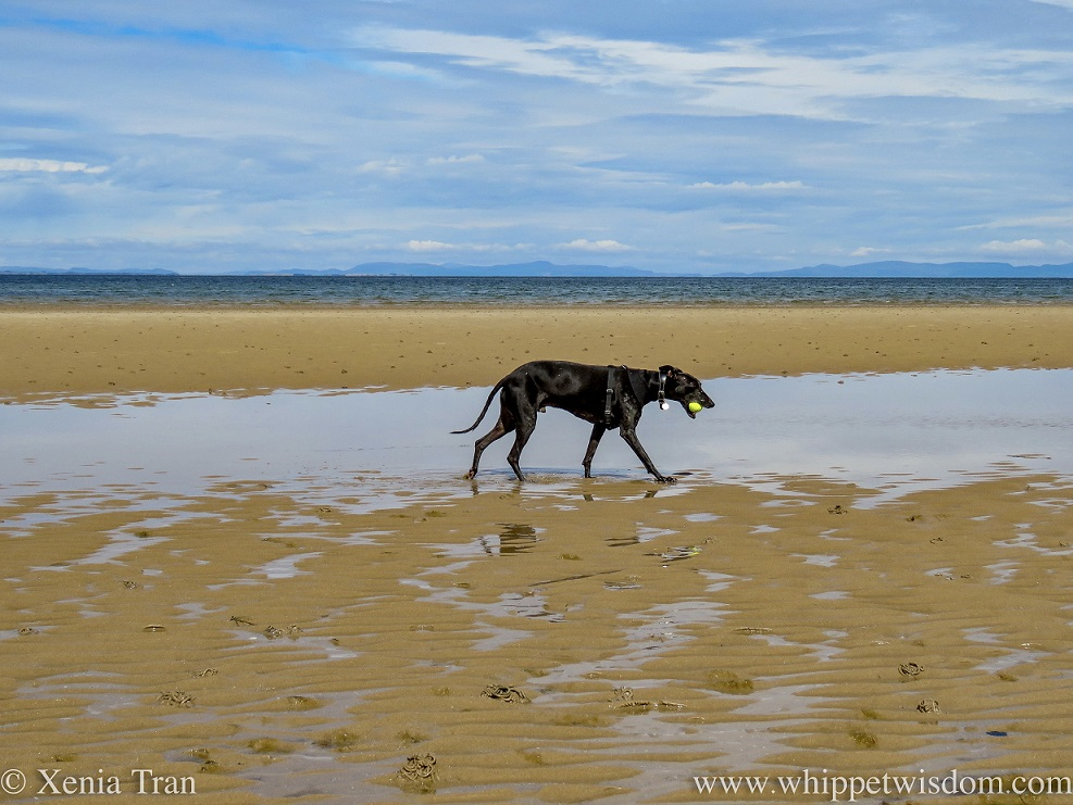 a black whippet walking a long tidal lagoon with a yellow ball