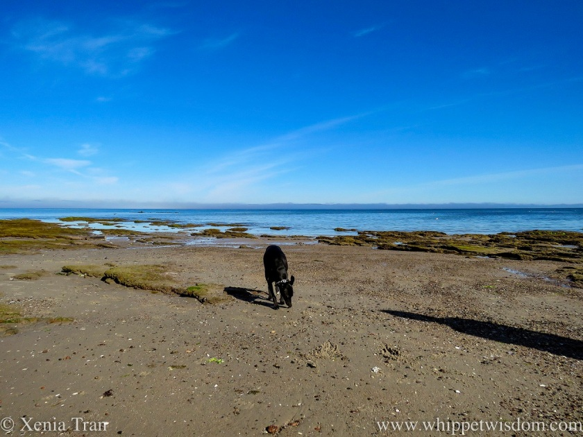 a black whippet sniffing the stones on the tidal sands