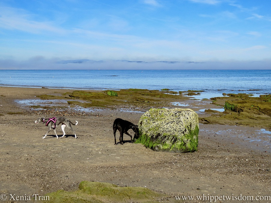 two whippets on tidal sands with exposed rocks and seaweed