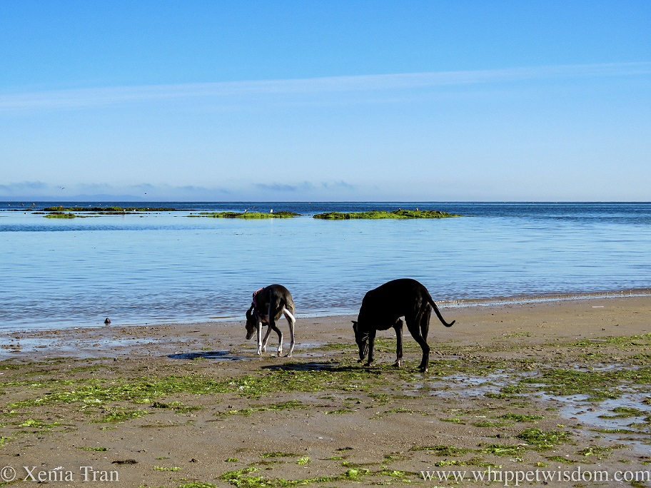 two whippets walking across tidal sands towards the sea