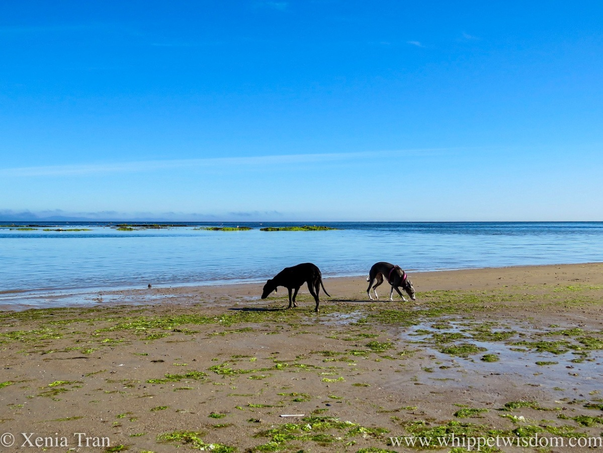 two whippets sniffing the seaweed on wet tidal sands