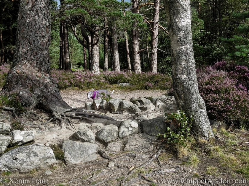 a blue and white whippet on a forest trail with heather