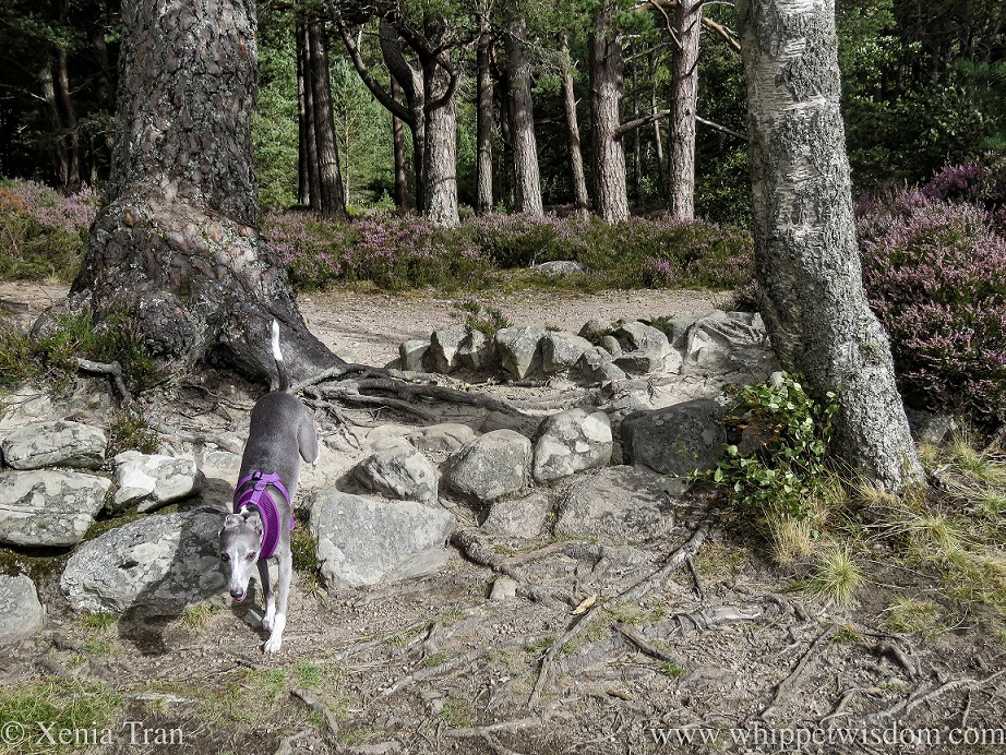 a blue and white whippet leaping over large stones between trees