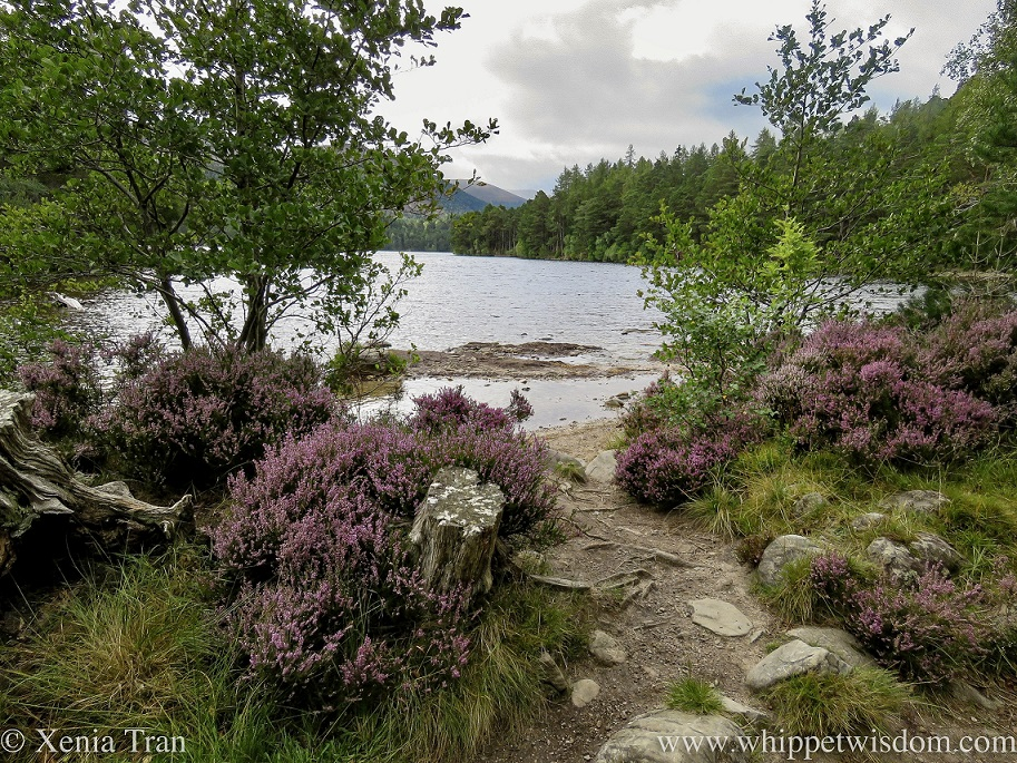 Loch an Eilein with heather in bloom