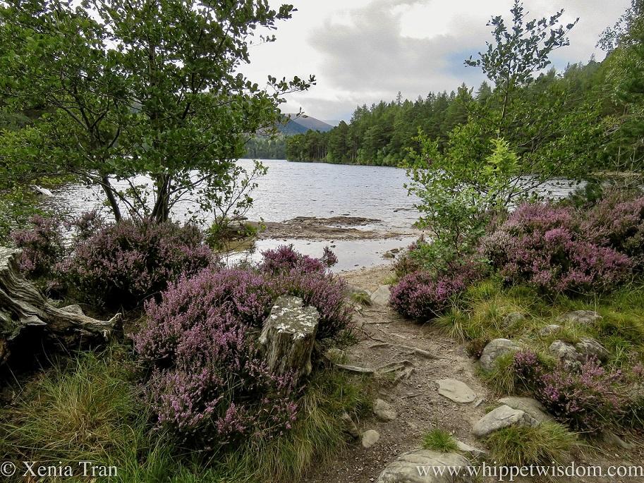 Loch an Eilein with heather in bloom