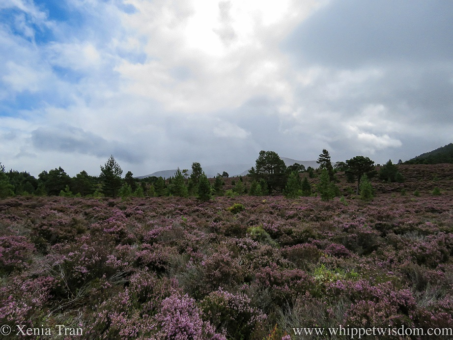 billowing clouds above the mountains and the sun lighting up the heather