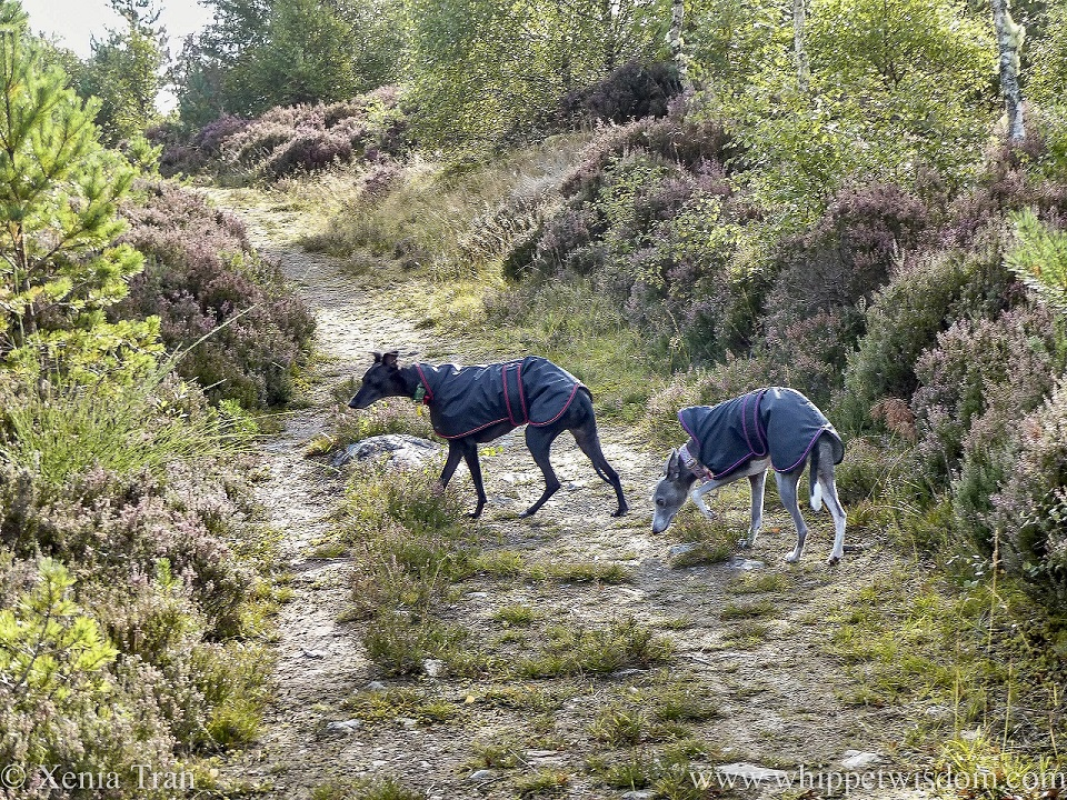 two whippets in rain coats on a hillside trail