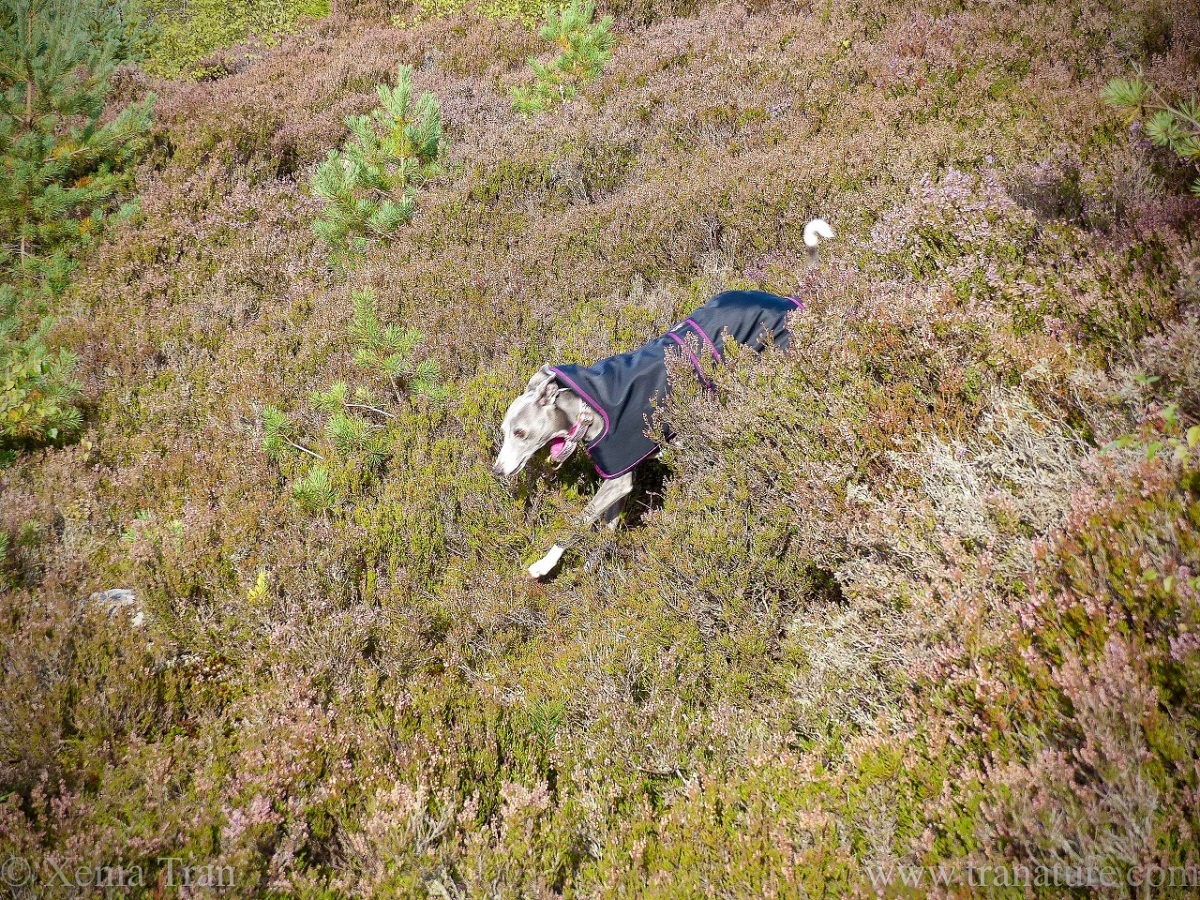 a whippet in a rain coat running through heather