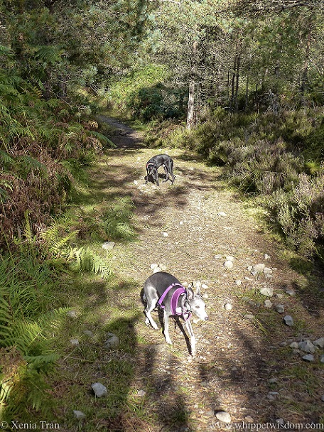 two whippets on a forest trail in autumn