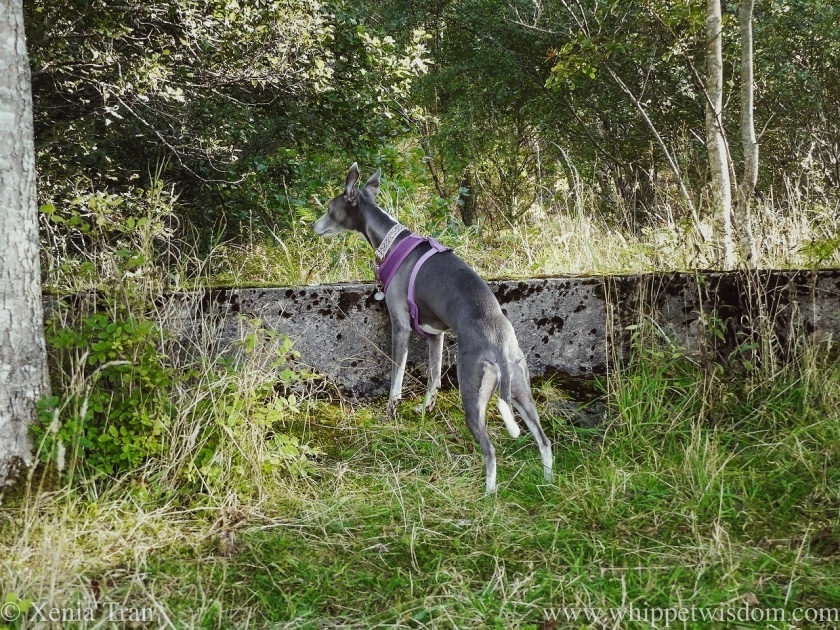 a blue and white whippet peering over a stone wall in a forest