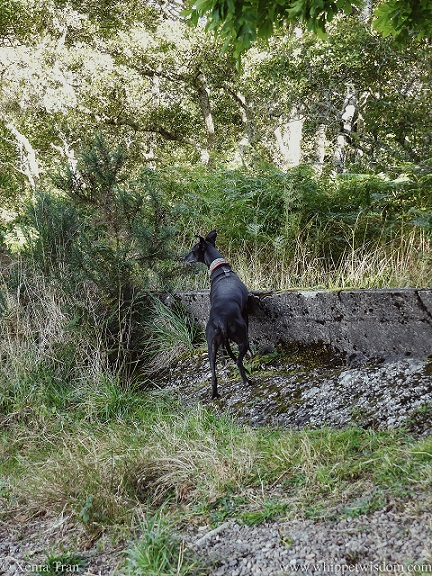 a black whippet peering over a wall on a forest trail