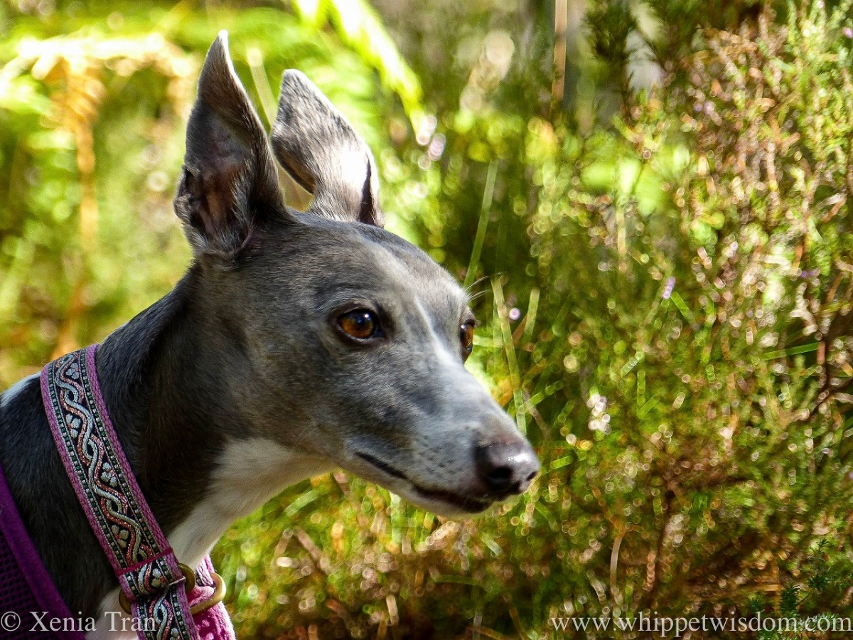 portrait of a blue and white whippet on a forest trail