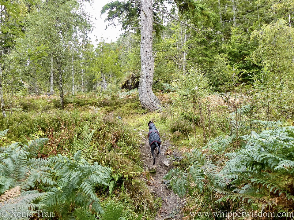 a black whippet in a raincoat climbing a forest trail