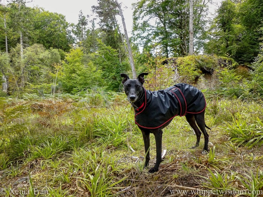 a black whippet in a black and red rain jacket on a forest trail