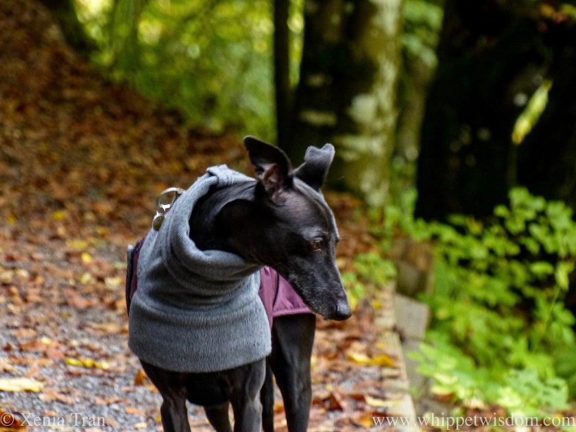 a black whippet in a winter jacket on a forest trail