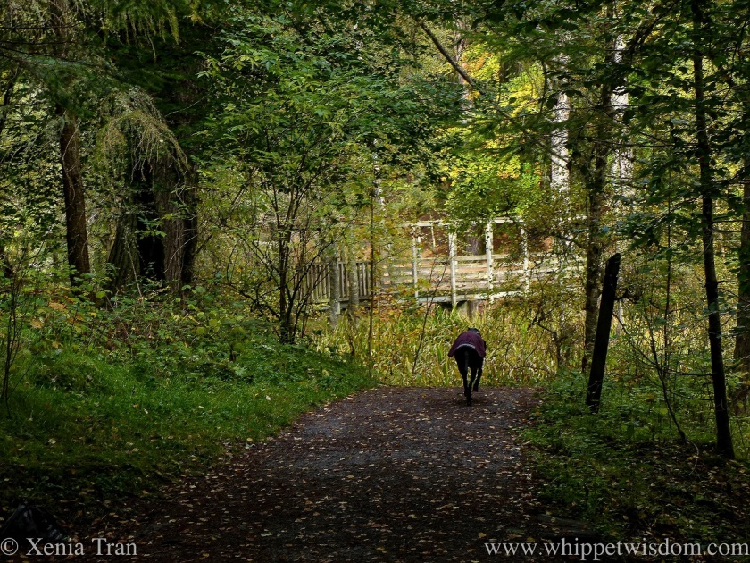 a black whippet in a winter jacket walking on a forest trail