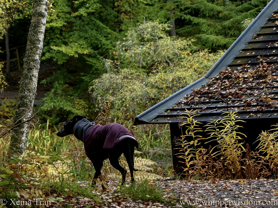 a black whippet in a maroon jacket on a forest trail in autumn