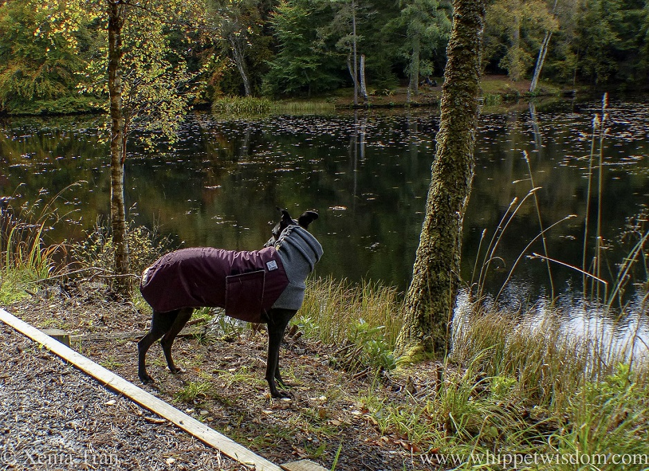 a black whippet in a winter jacket in a forest by a loch in autumn