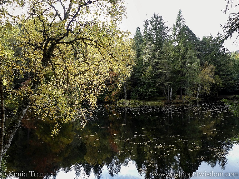 a birch tree with golden leaves hanging over Loch Dunmoreover
