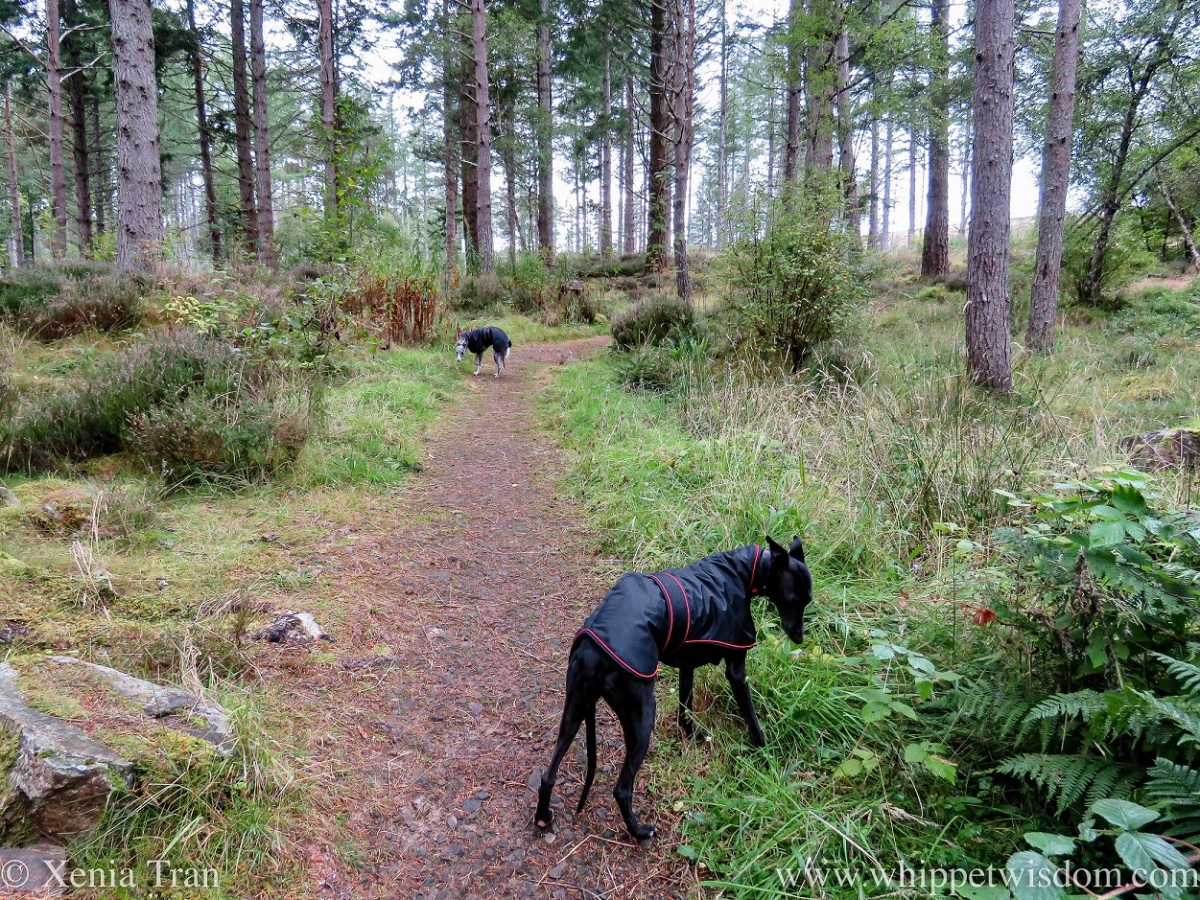 two whippets in rain coats either side of a forest trail