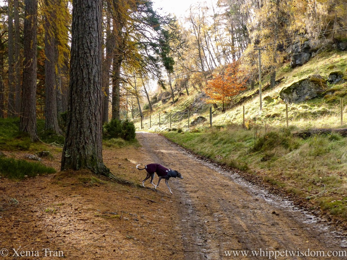 a blue and white whippet in a winter jacket on a forest trail in autumn