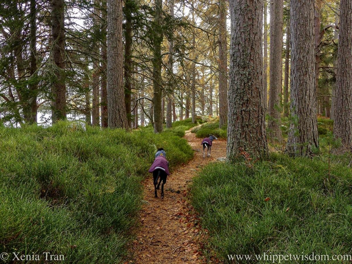 Tanka: Caledonia Pine