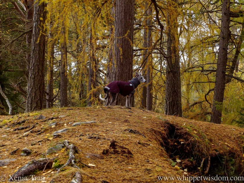 a blue and white whippet in a jacket standing on a forest hill in autumn