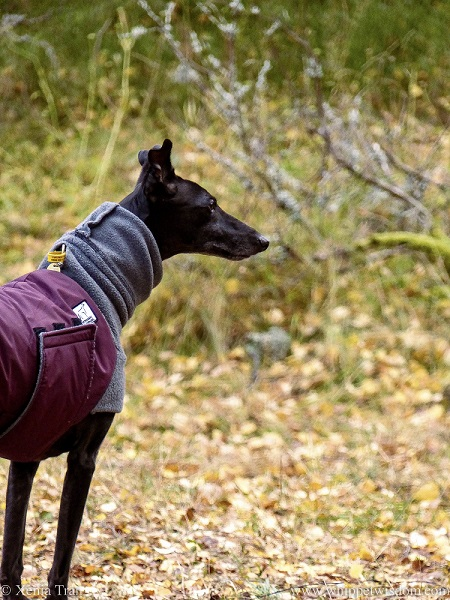 profile of a black whippet in a winter jacket on a forest trail