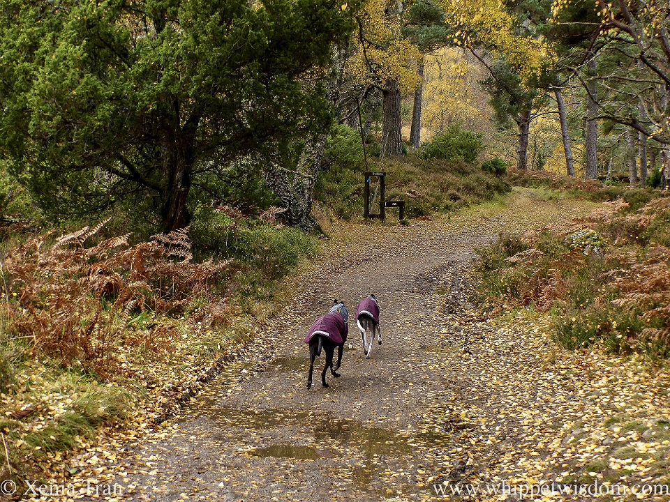 two whippets in winter jackets on a forest trail with fallen leaves