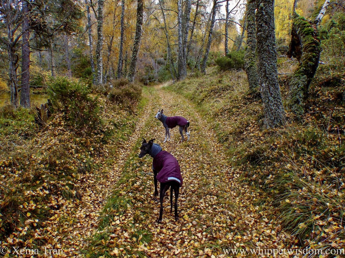 two whippets in winter jackets on a forest trail in autumn
